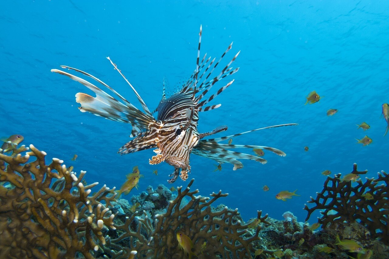 lionfish nurkowo